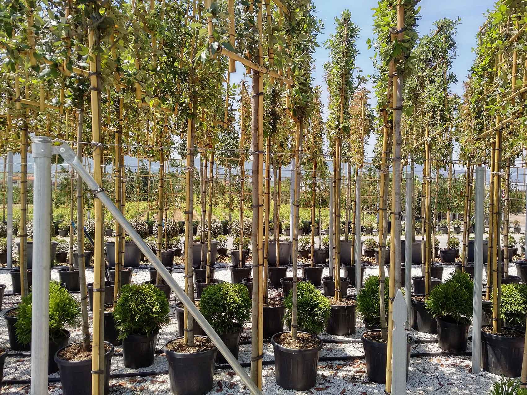 Binding Tube support bamboo stake